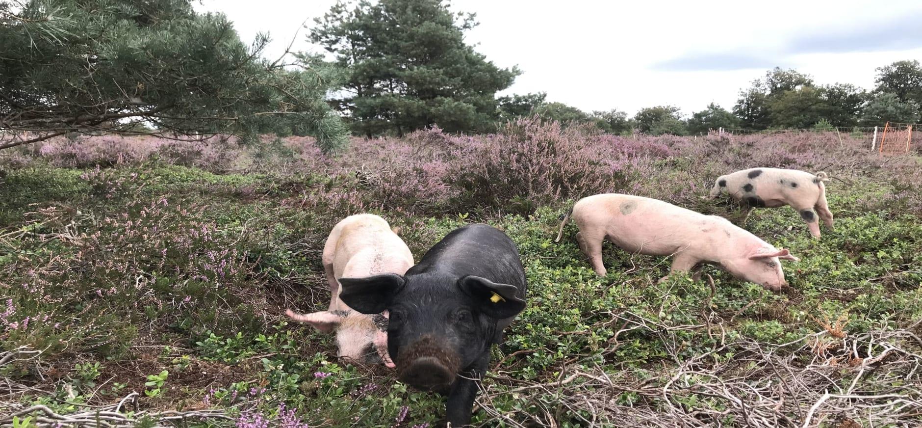 varkens wroeten op de Sallandse heide