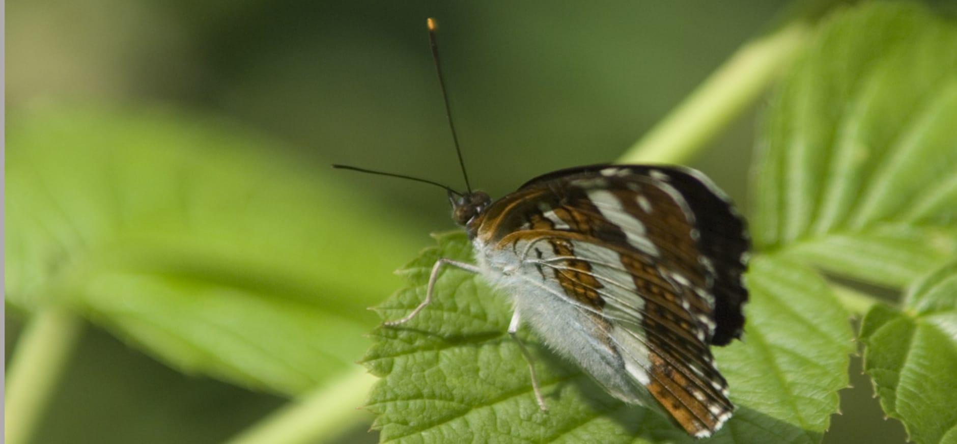 Goede ecologische verbindingen tussen natuurgebieden zijn van levensbelang voor dieren als de kleine ijsvogelvlinder