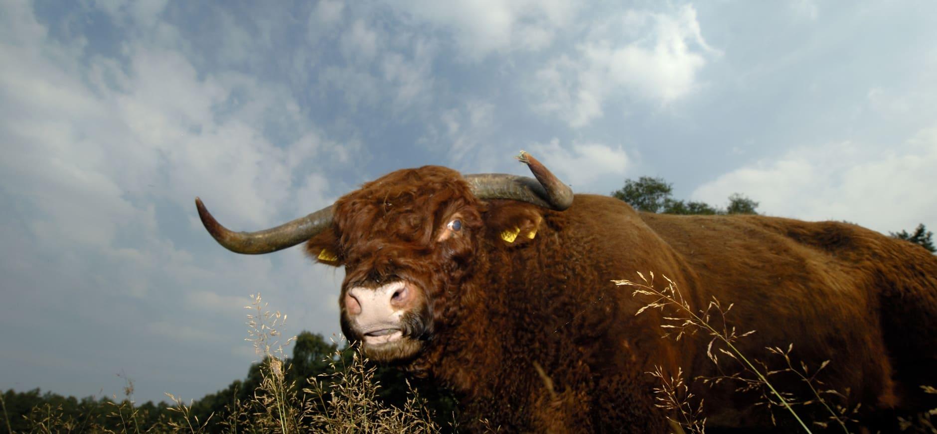 Schotse hooglander De Sprengenberg