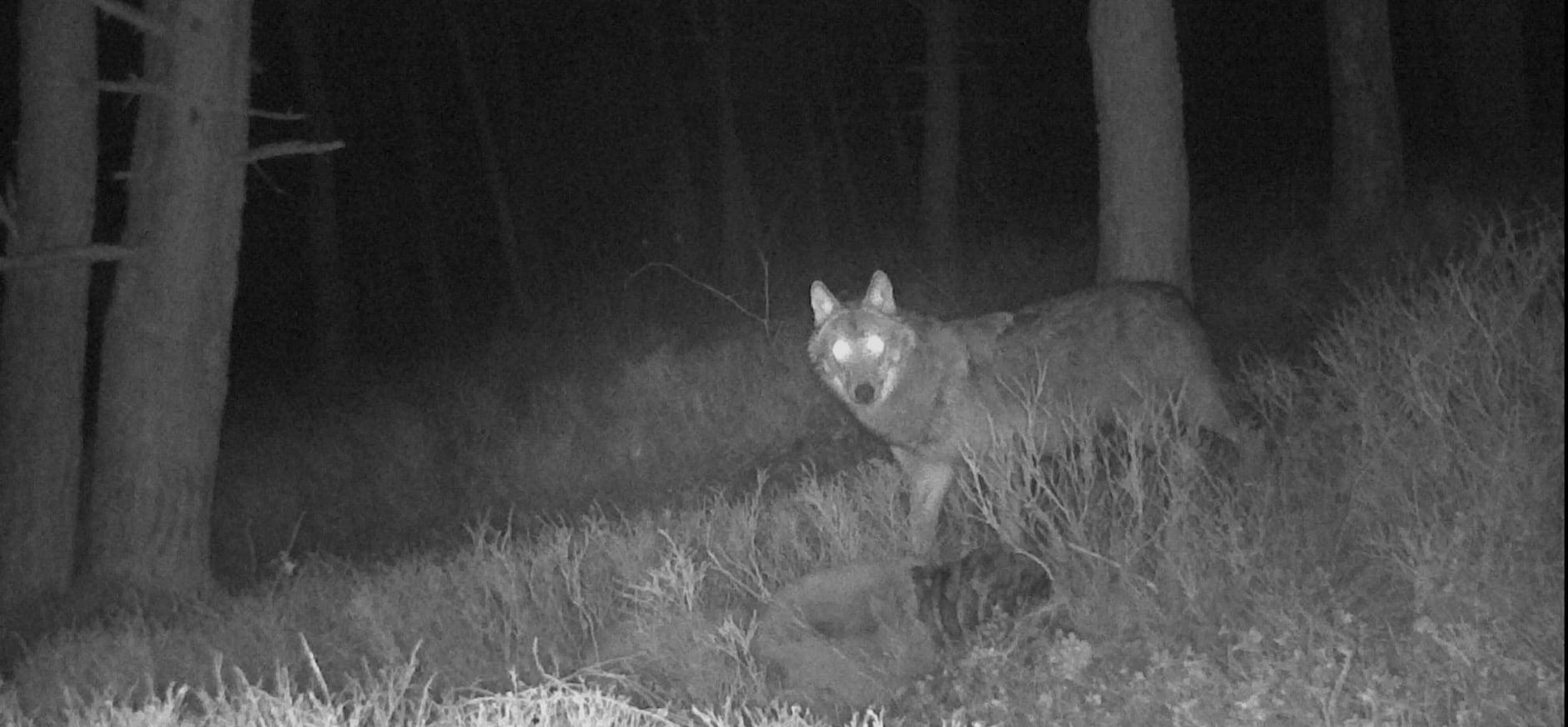 Wolf Zuid-Veluwe maart 2020