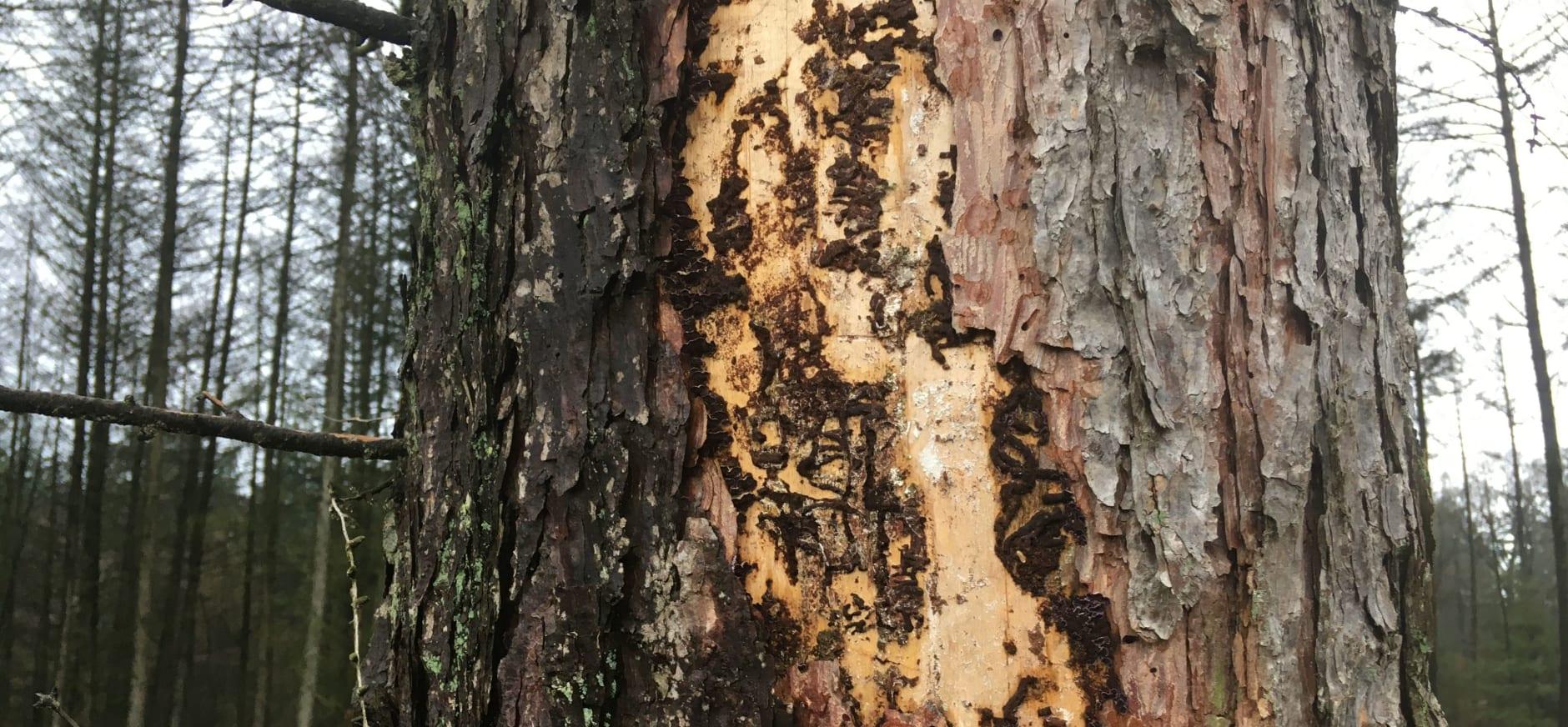 Aangetaste bomen Planken Wambuis en Wolfheze