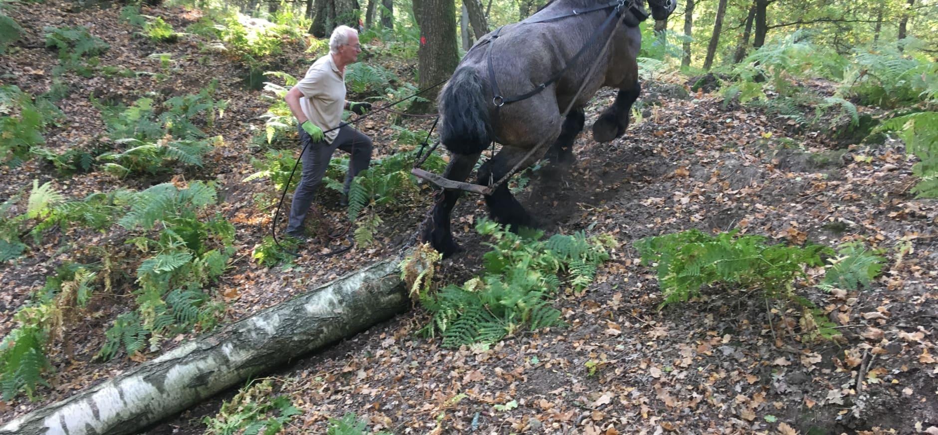 Ron le Poole van 'Paard aan het werk' leidt het paard met de eerste stam het bos uit