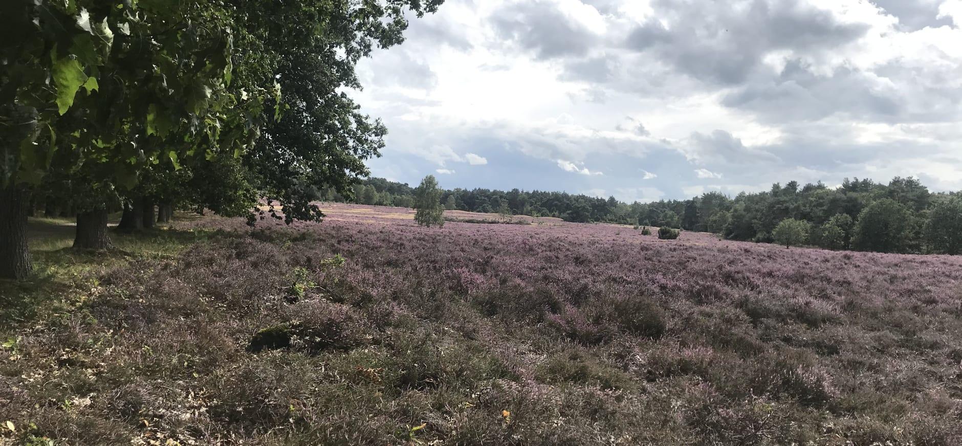 heide De Sprengenberg bloeit toch zomer 2019