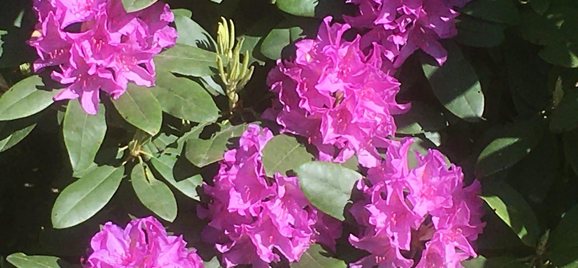 Bloeiende rododendron op Beekhuizen