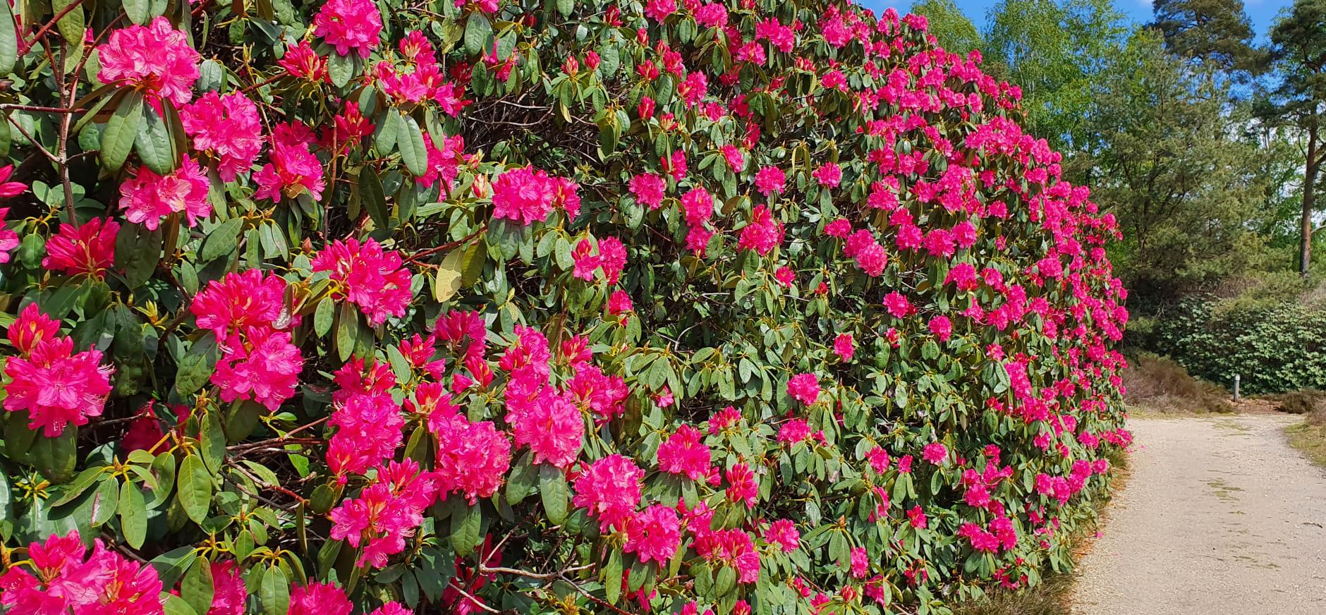 Bloeiende haag van rododendrons De Sprengenberg