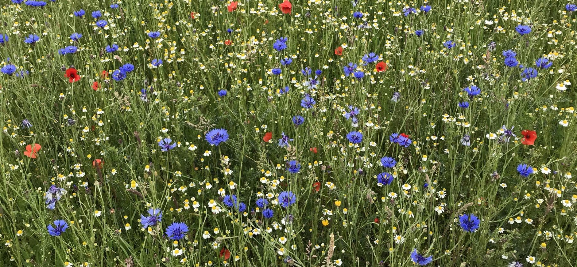 wilde bloemen veld
