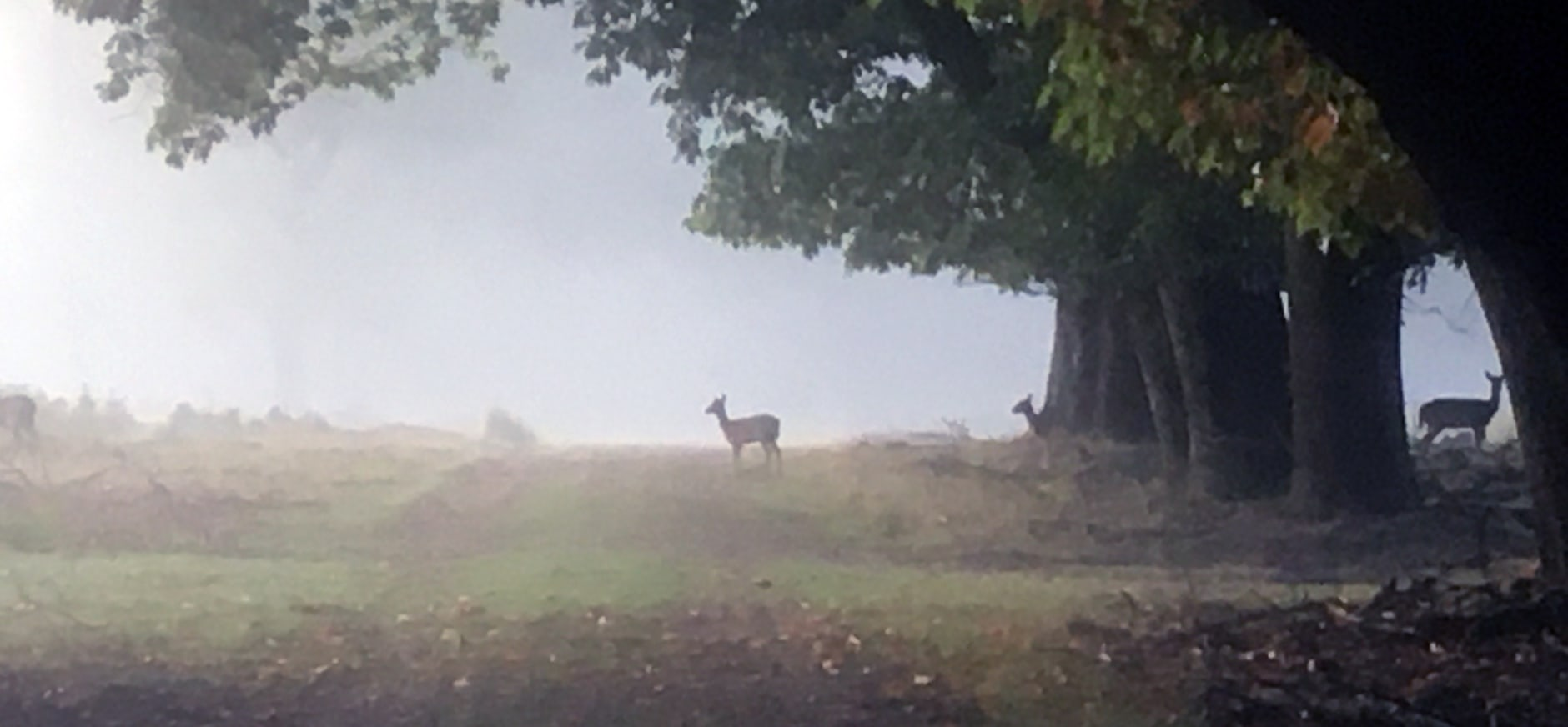 Damherten aan de bosrand
