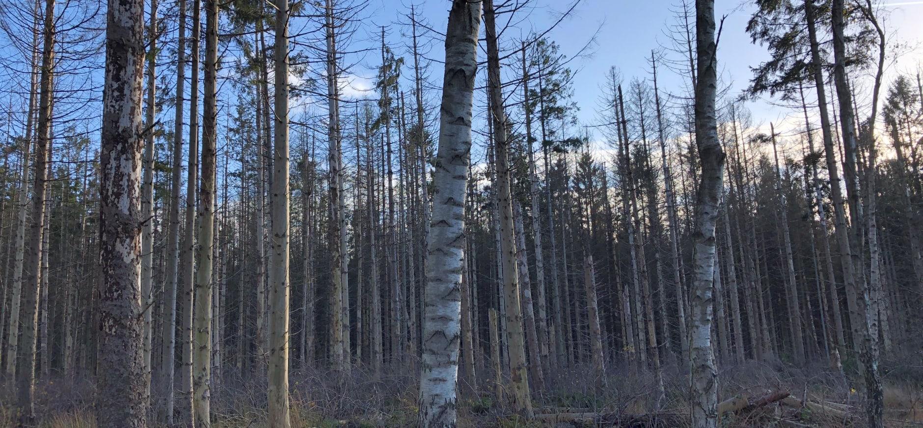 Fijnsparren Compagnonsbossen