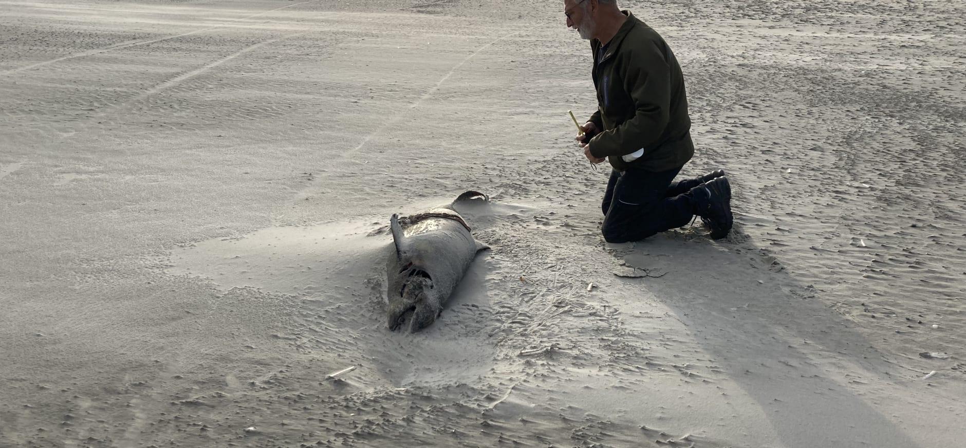 bruinvis strand Schiermonnikoog
