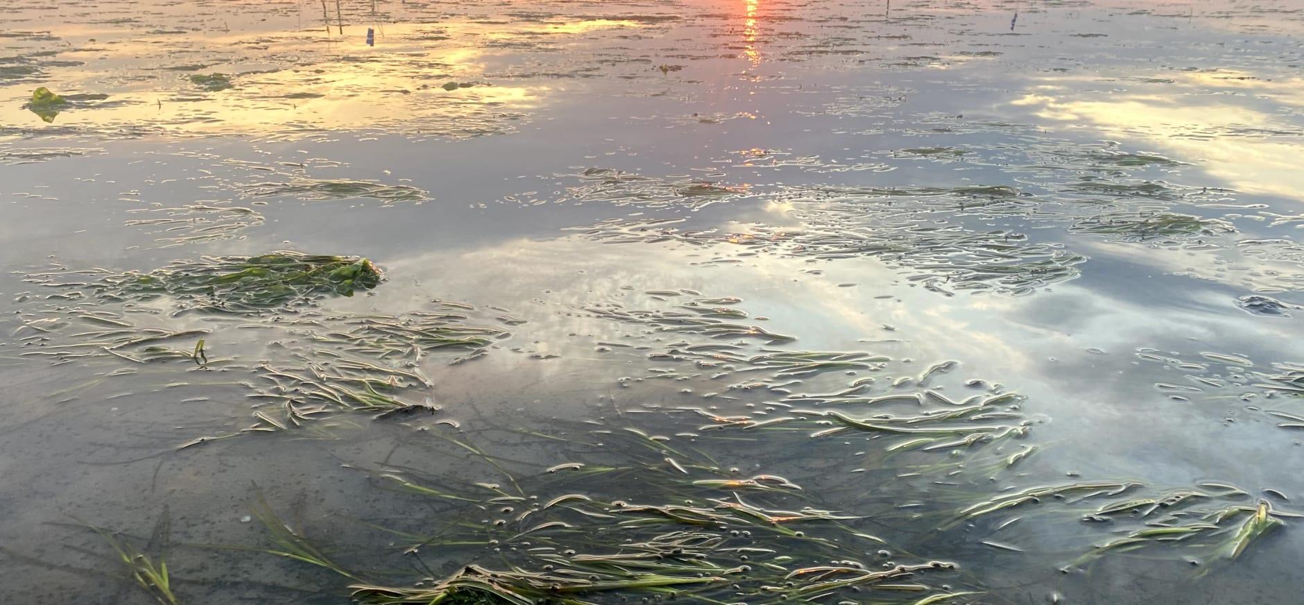 sfeerbeeld zeegras bij Griend