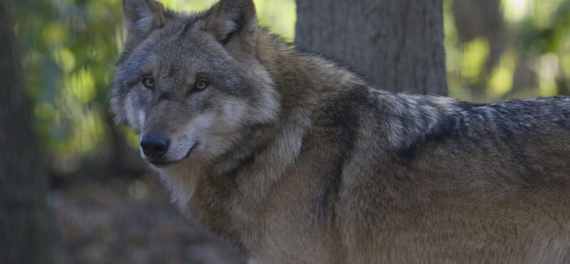 Ruimte voor de wolf - Foto: Mark Zekhuis