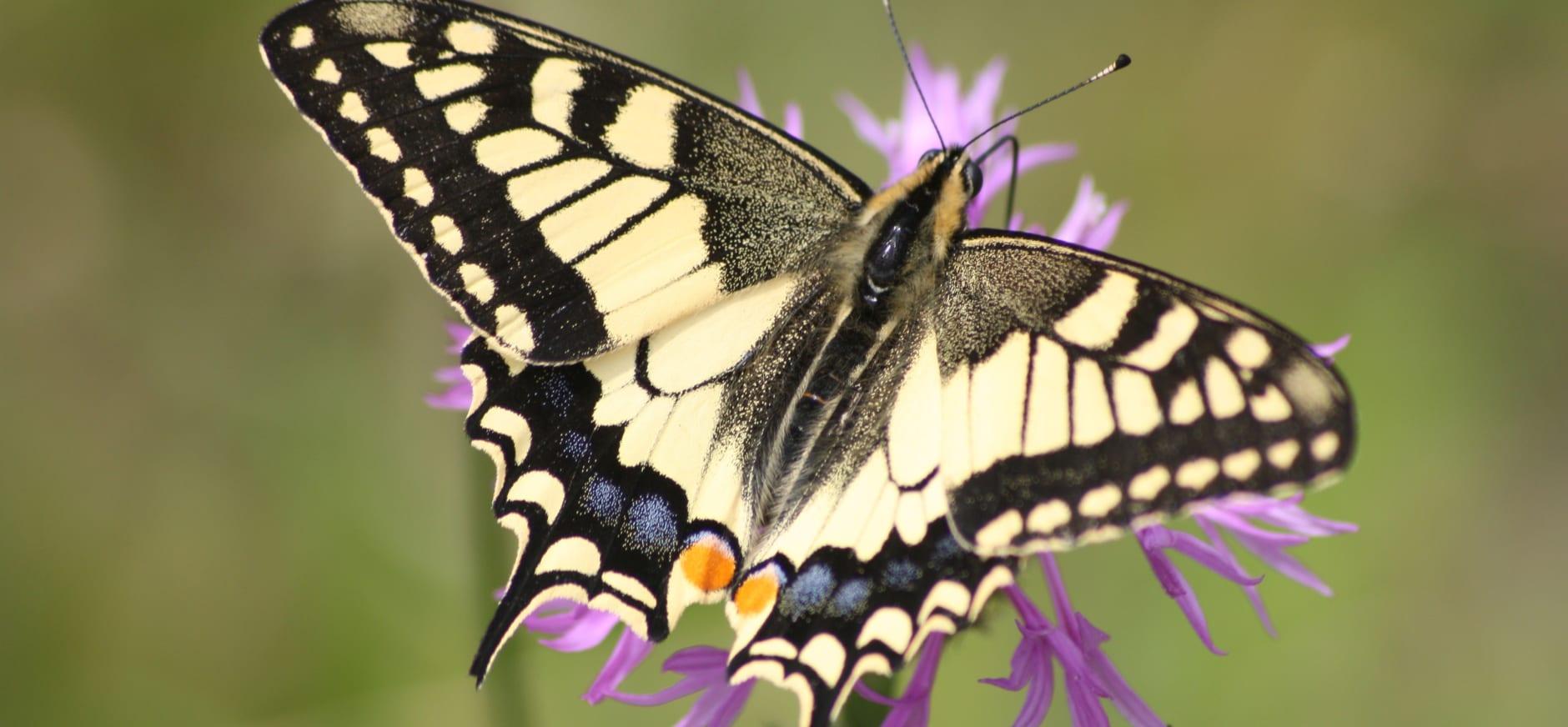 Vlindertellingen in De Wieden
