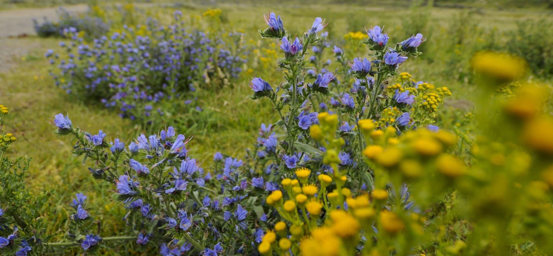 we werken aan gevarieerd duingrasland met veel bloemen