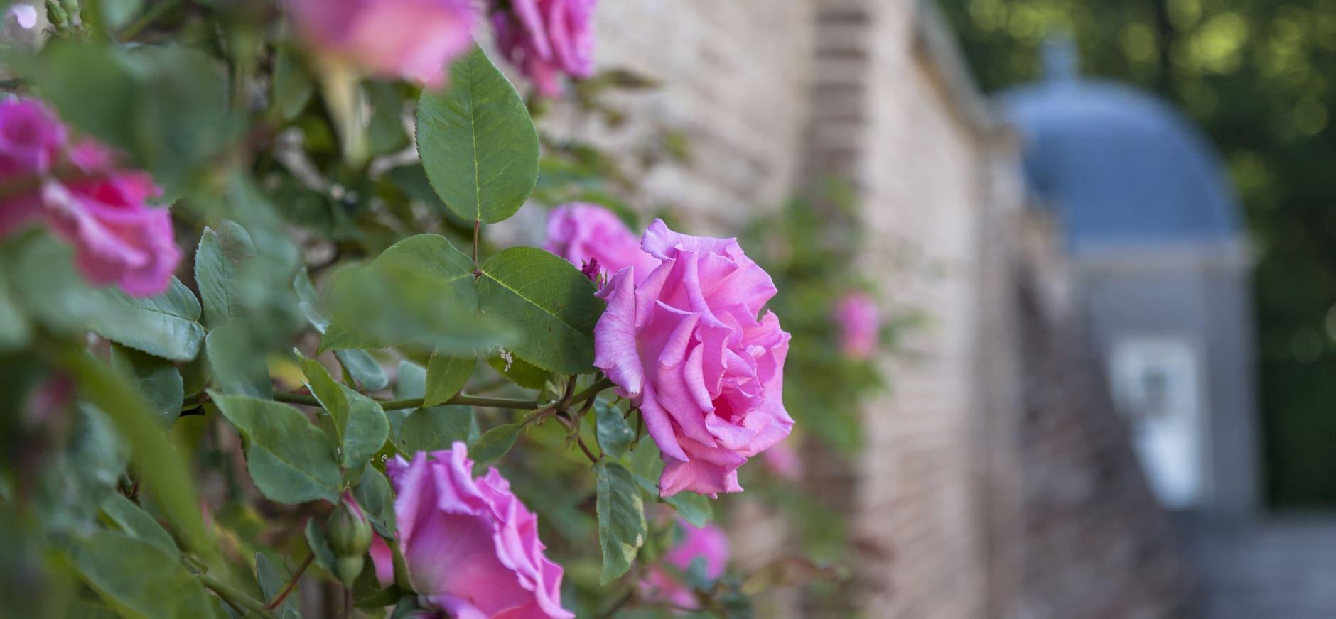 Roos op tuinmuur Kasteel Eerde