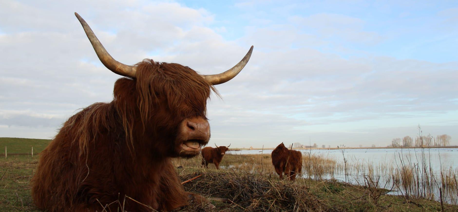 Schotse hooglanders op Tiengemeten