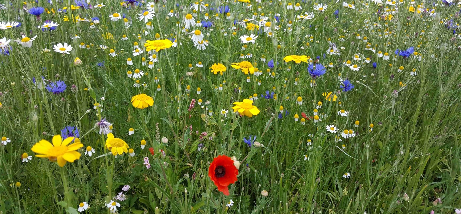 Wilde bloemen op Tiengemeten