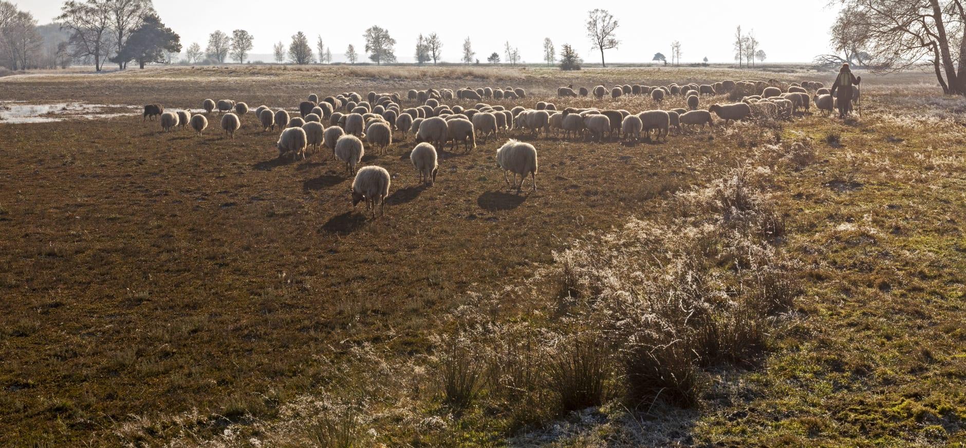 Dwingelderveld met schapen en herder
