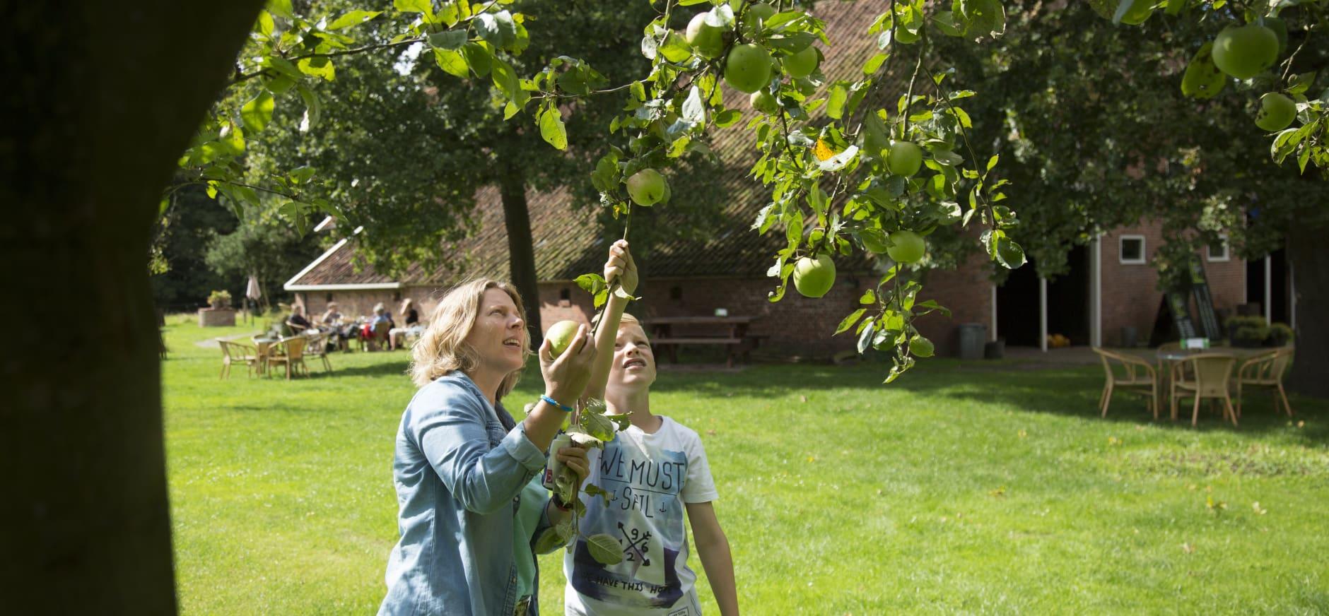 Fruit plukken op oude boomgaarden bij landgoed Hackfort