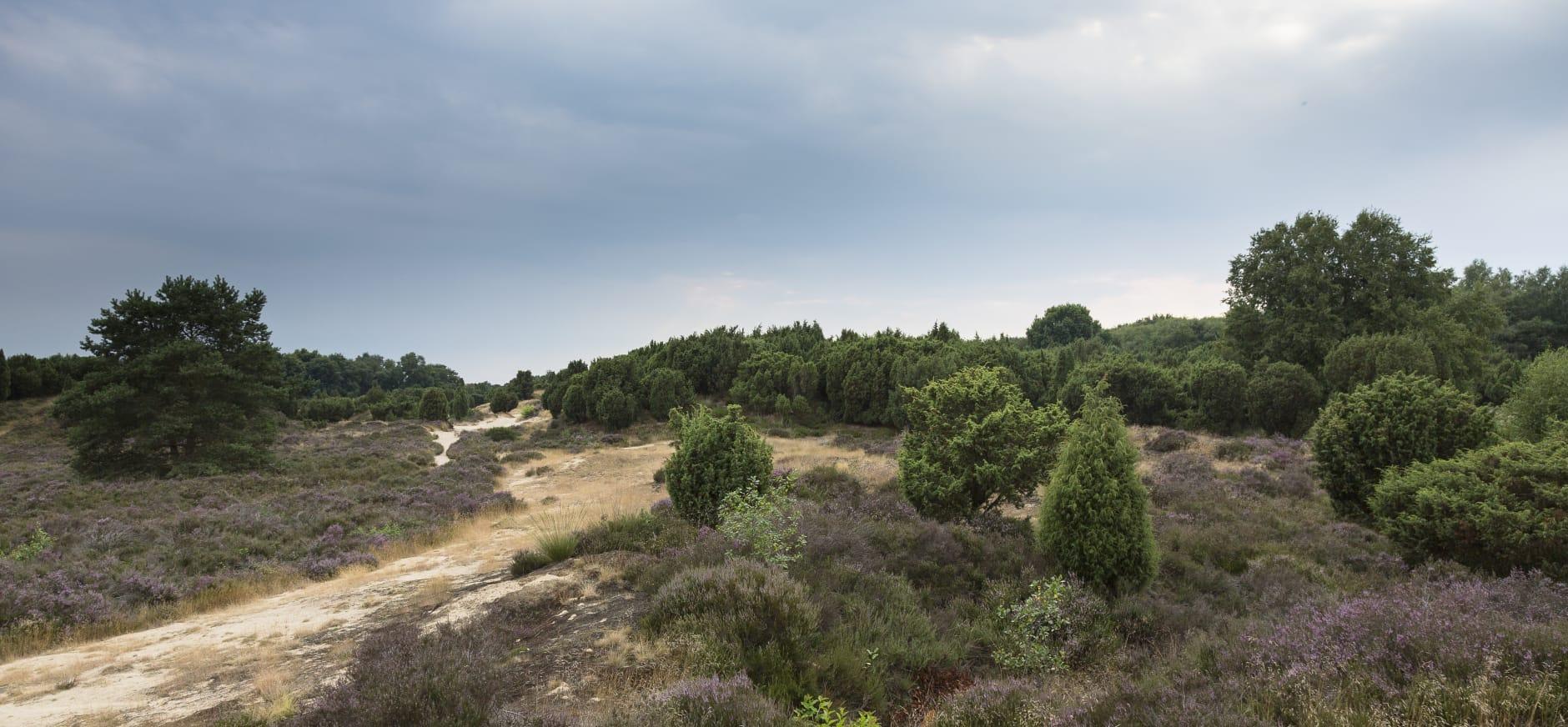 landschap Mantingerveld met jeneverbesstruiken