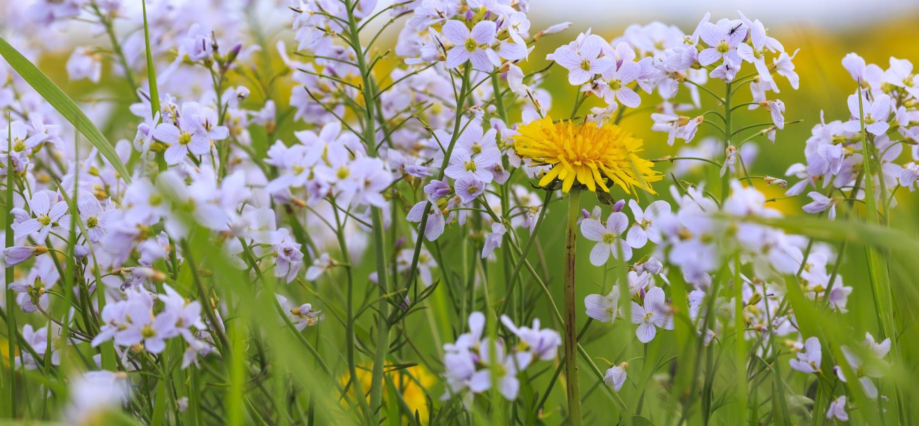 Wilde bloemen in De Wieden
