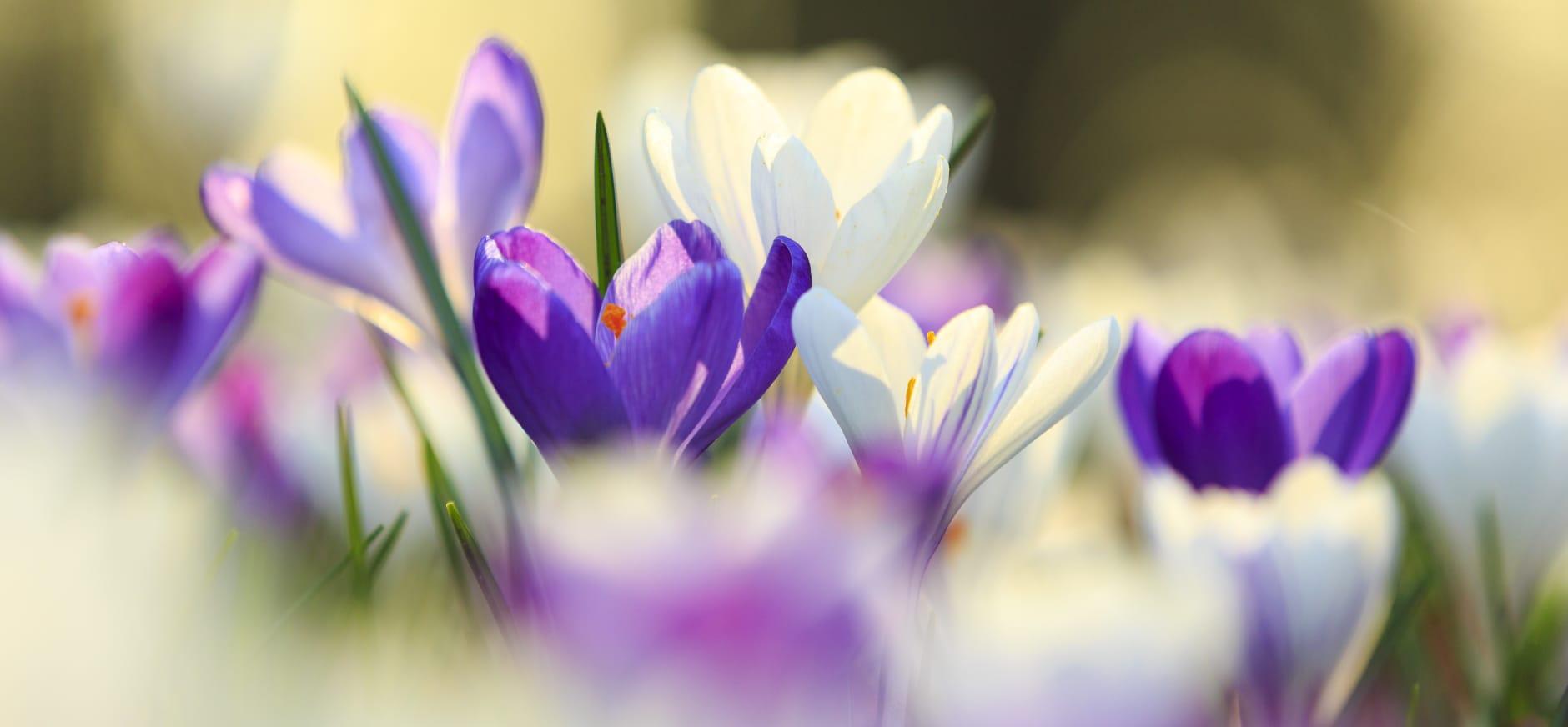 Bonte krokussen in volle bloei bij kasteel Hackfort