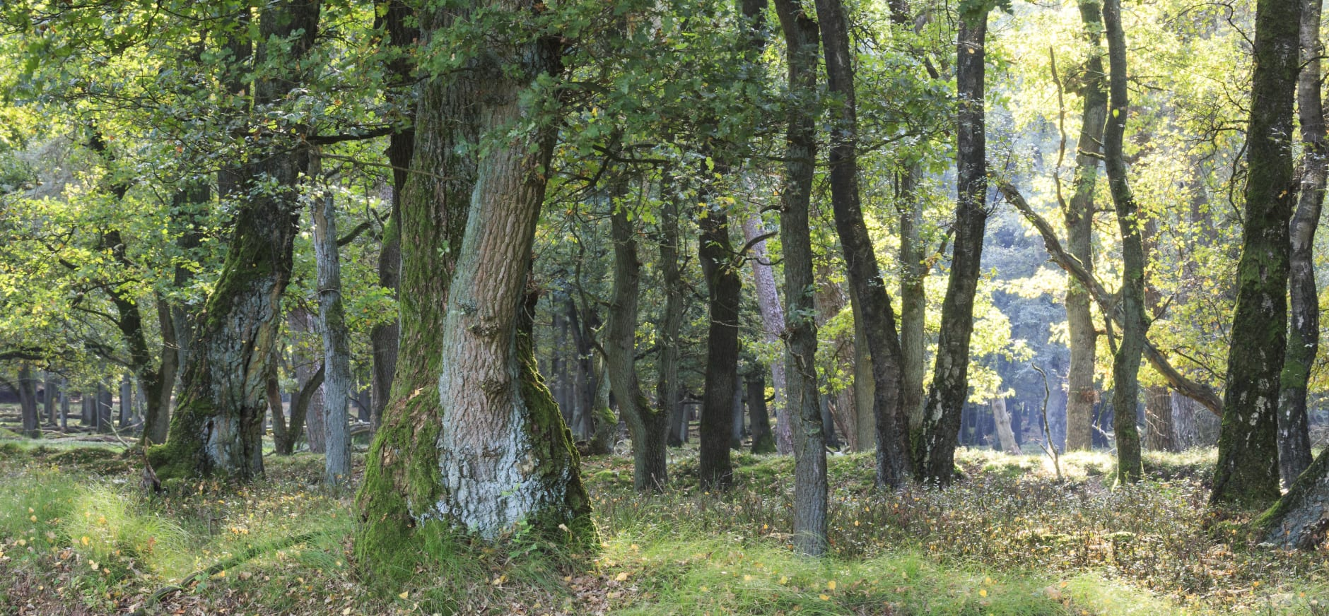 Eiken in het Deelerwoud