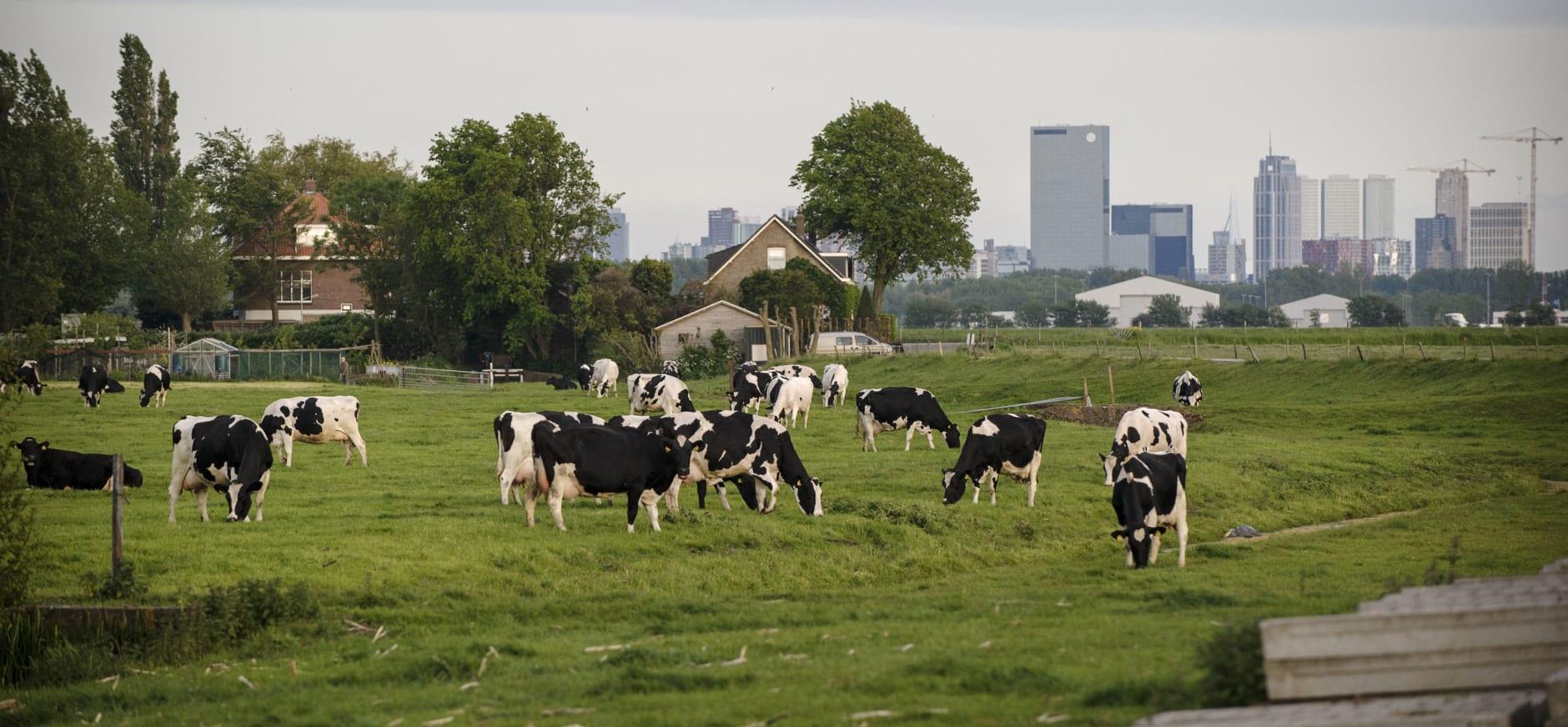 Koeien voor de skyline van Rotterdam