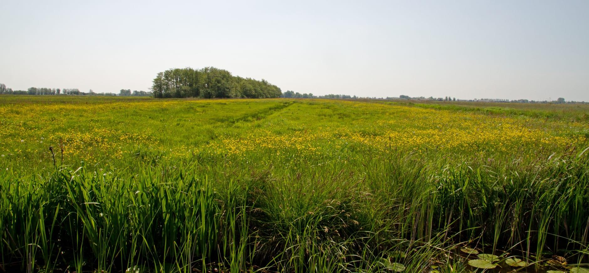 Gele polder
