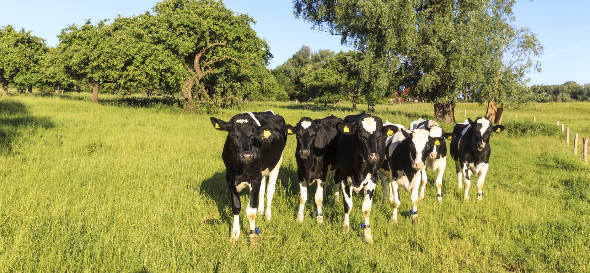 Grasland met koeien