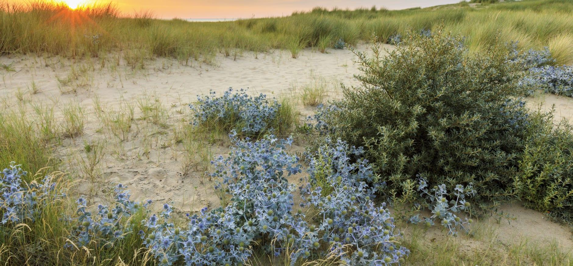 blauwe zeedistel