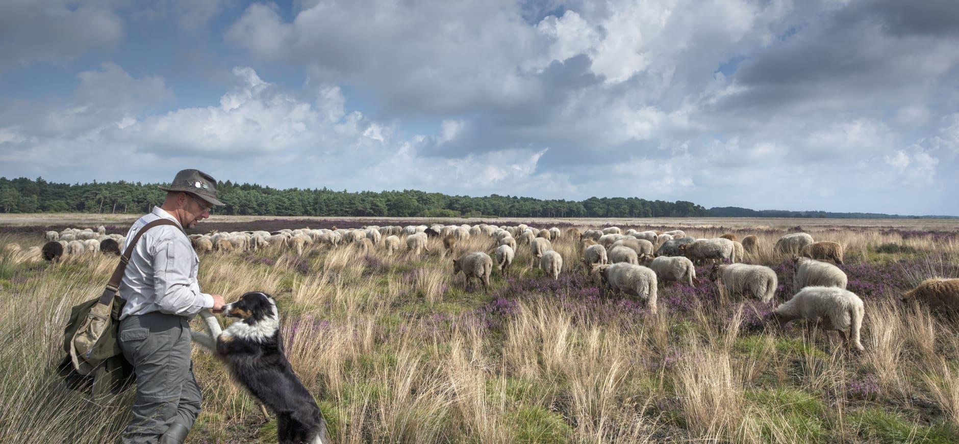 Schaapherder met schapen en hond