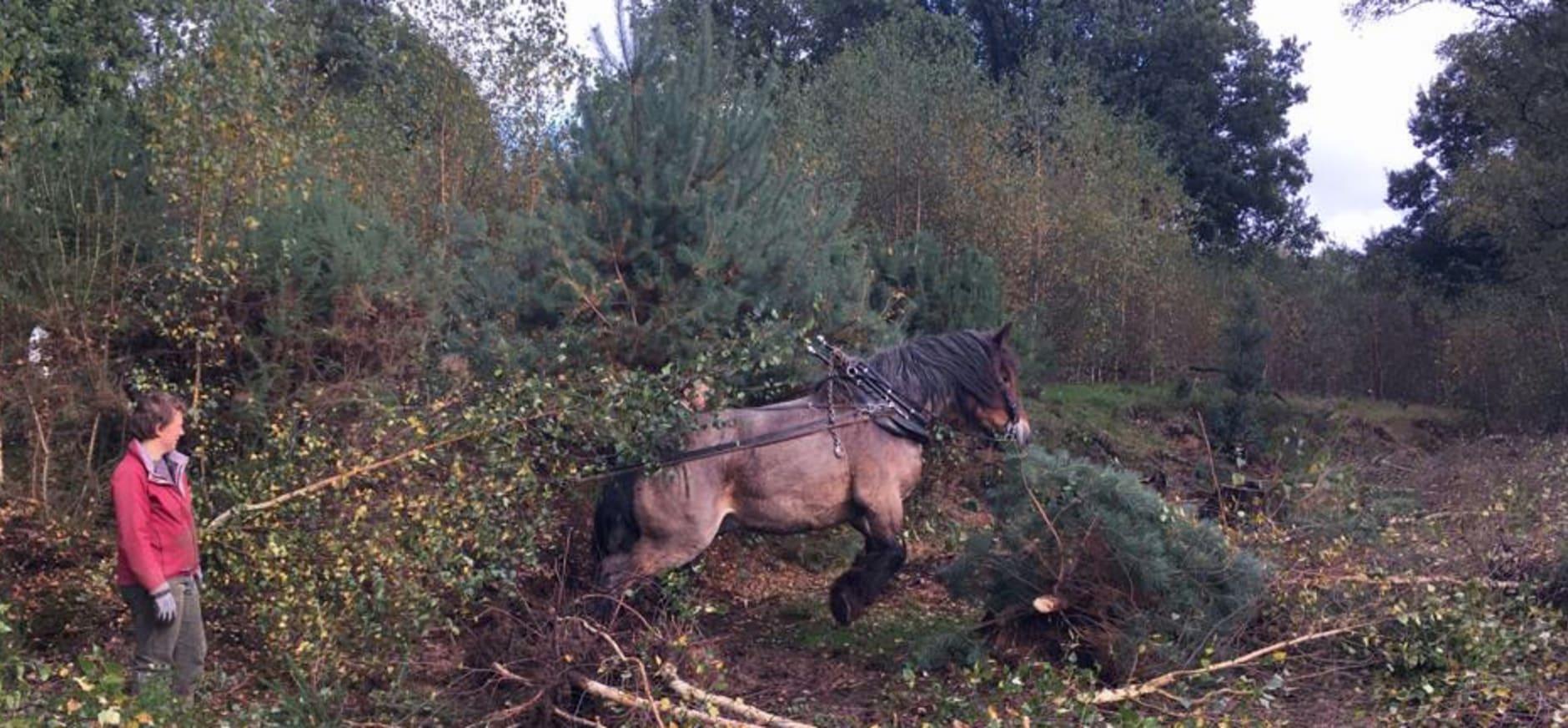 Werkpaard op de Beekhuizense heide