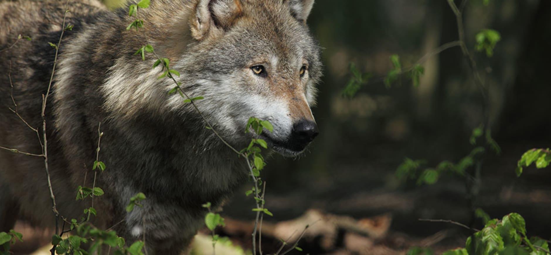 Tweede wolf in Nederland, nieuws