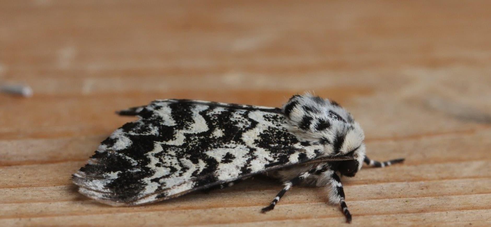 schijn-nonvlinder