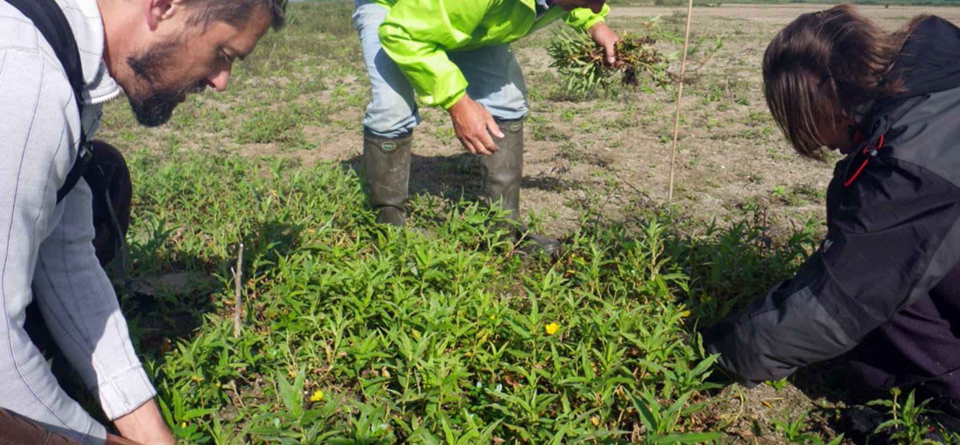 Vrijwilligers aan de slag bij de bestrijding van de kleine waterteunisbloem