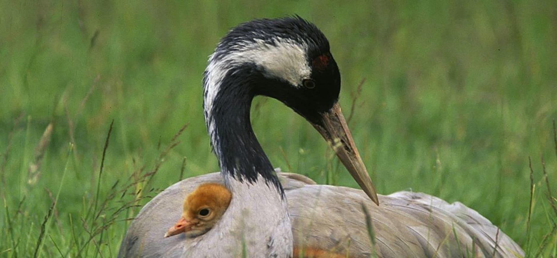 Kraanvogel met kuiken