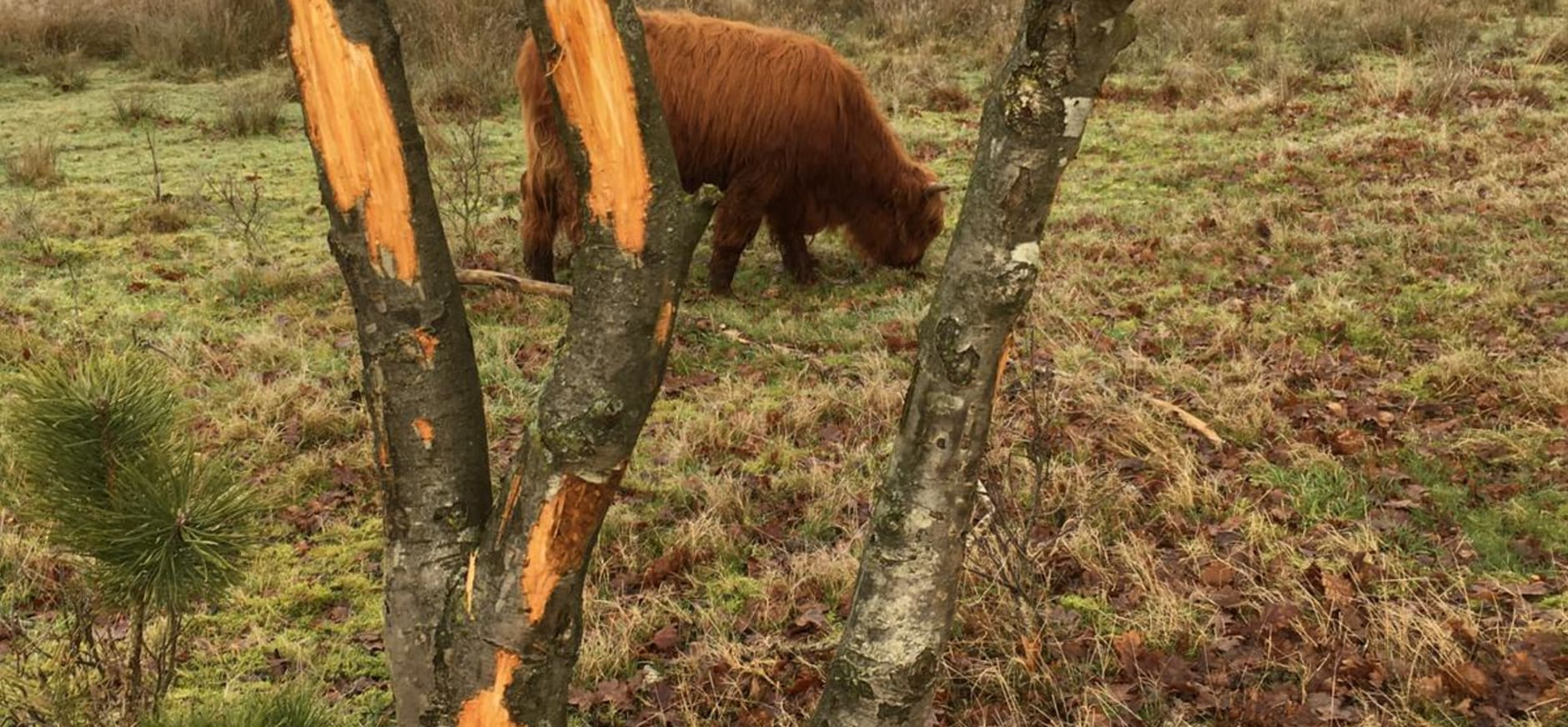 hooglander schilt boom
