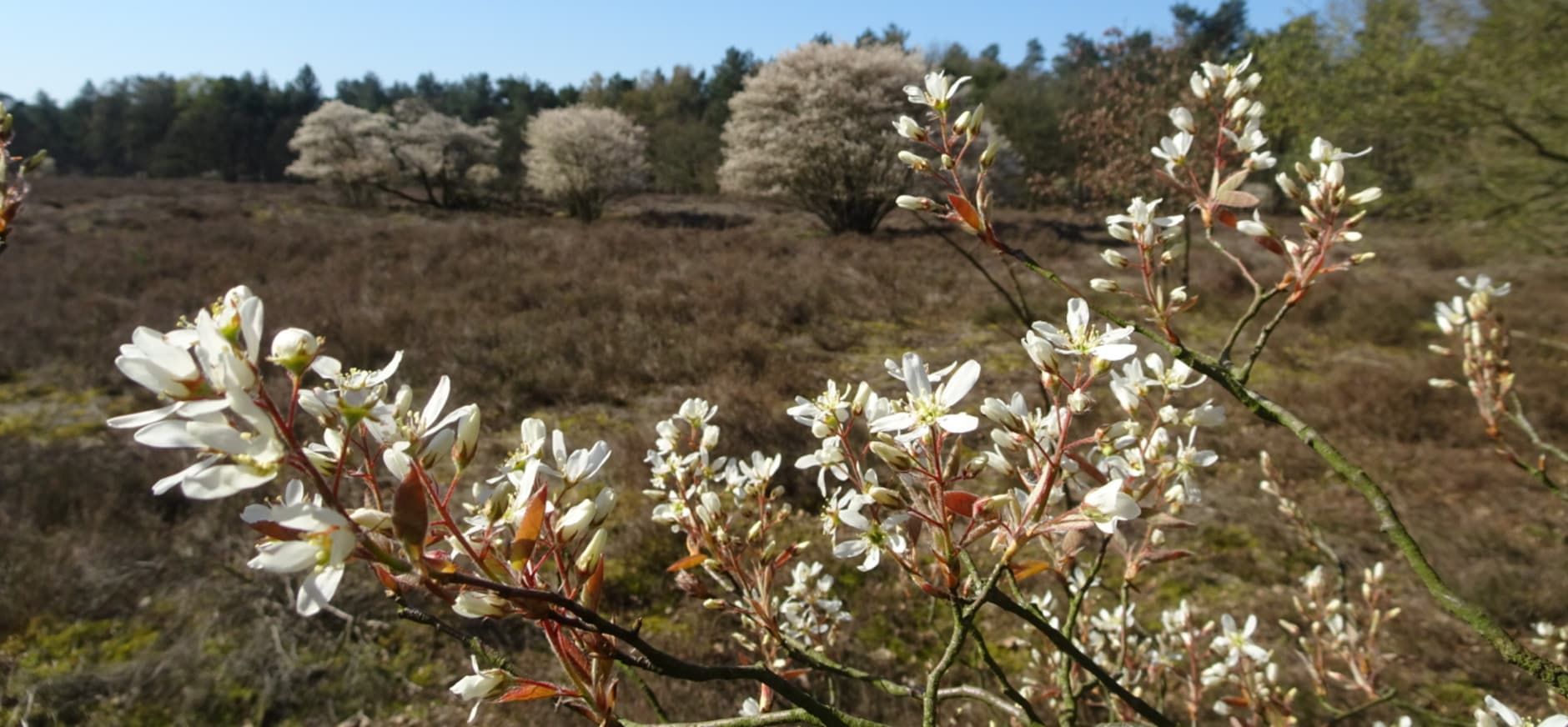 Bloeiende krentenbomen de Kraanvense heide in de de Loonse en Drunense Duinen.