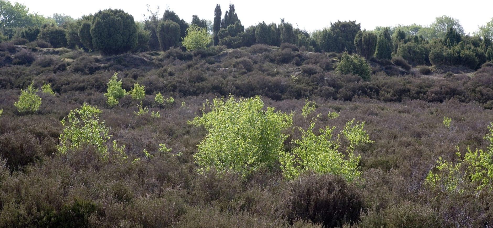 Berkjes in het Mantingerveld