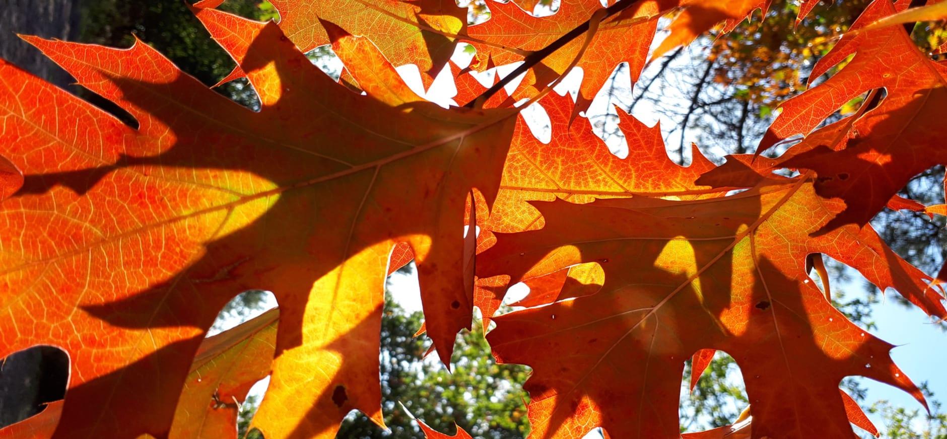 Bladeren Amerikaanse eik in herfstkleuren
