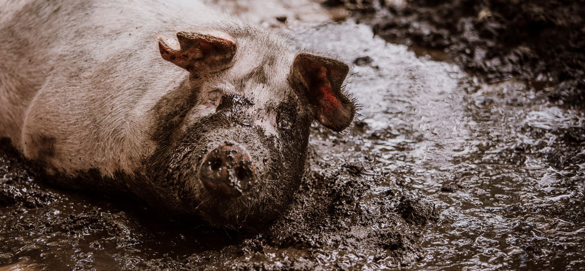 Herenboeren Groote Modderkolk varken neemt modderbad