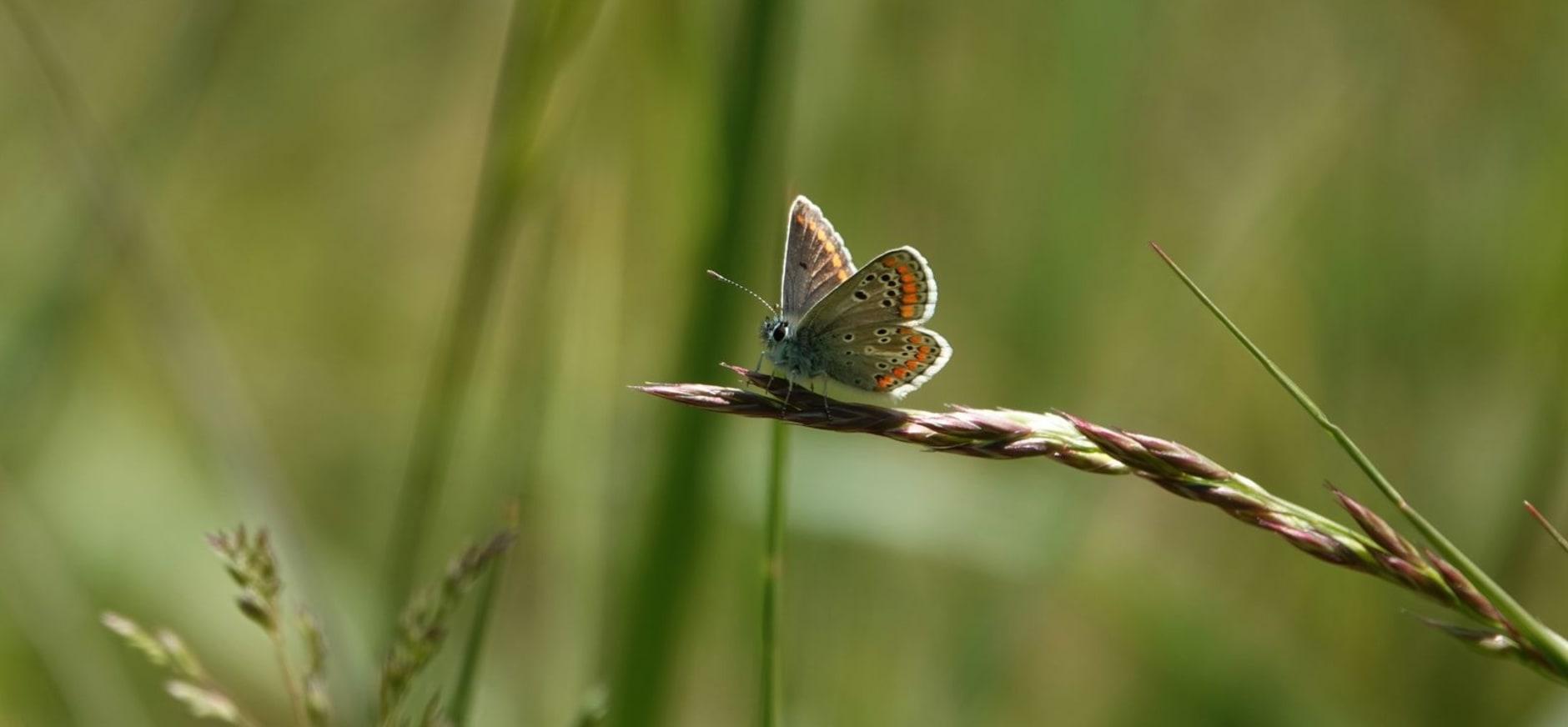 Bruin blauwtje (aricia agestis) - NM Arjan van Lomwel
