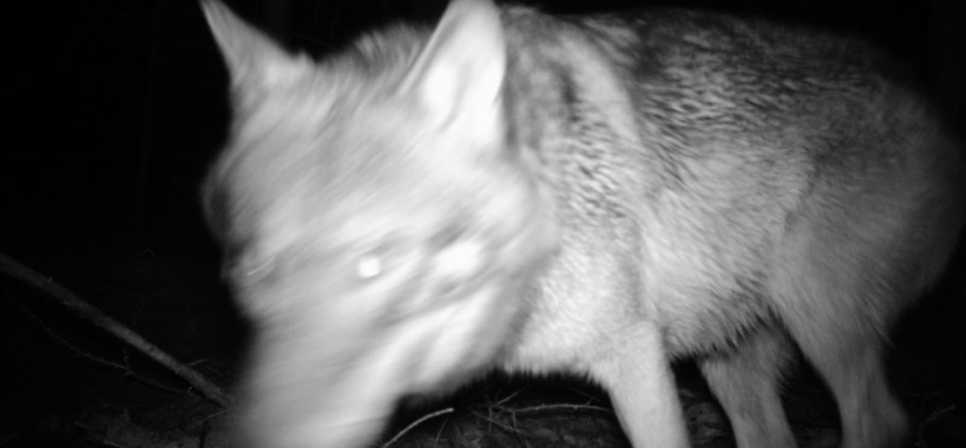 Wolf op beeld