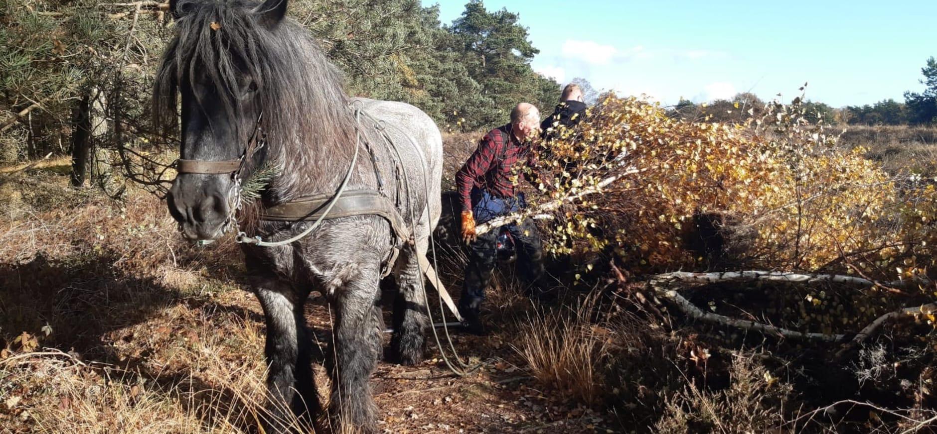 Werkpaarden aan de slag op de hei in natuurgebied Planken Wambuis