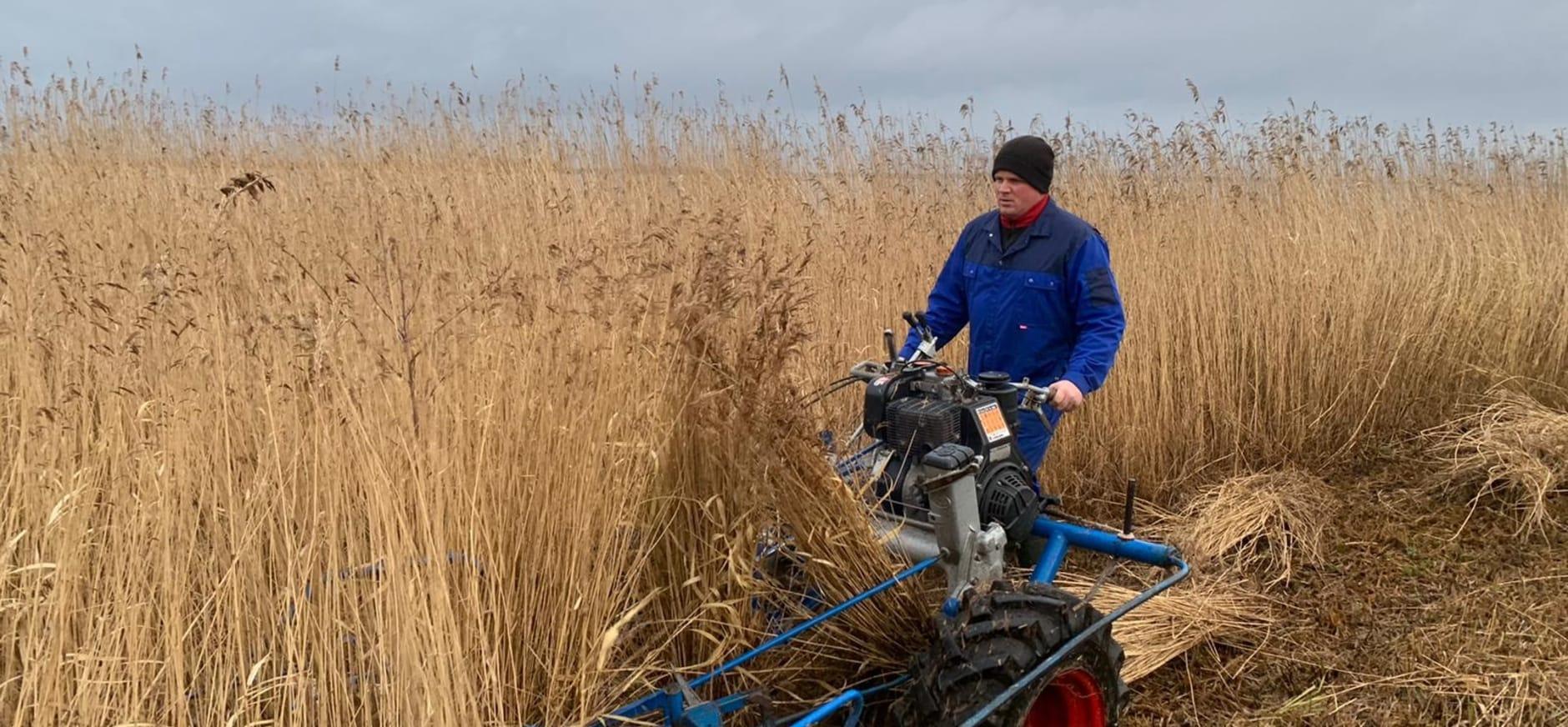 Rietsnijden in De Wieden