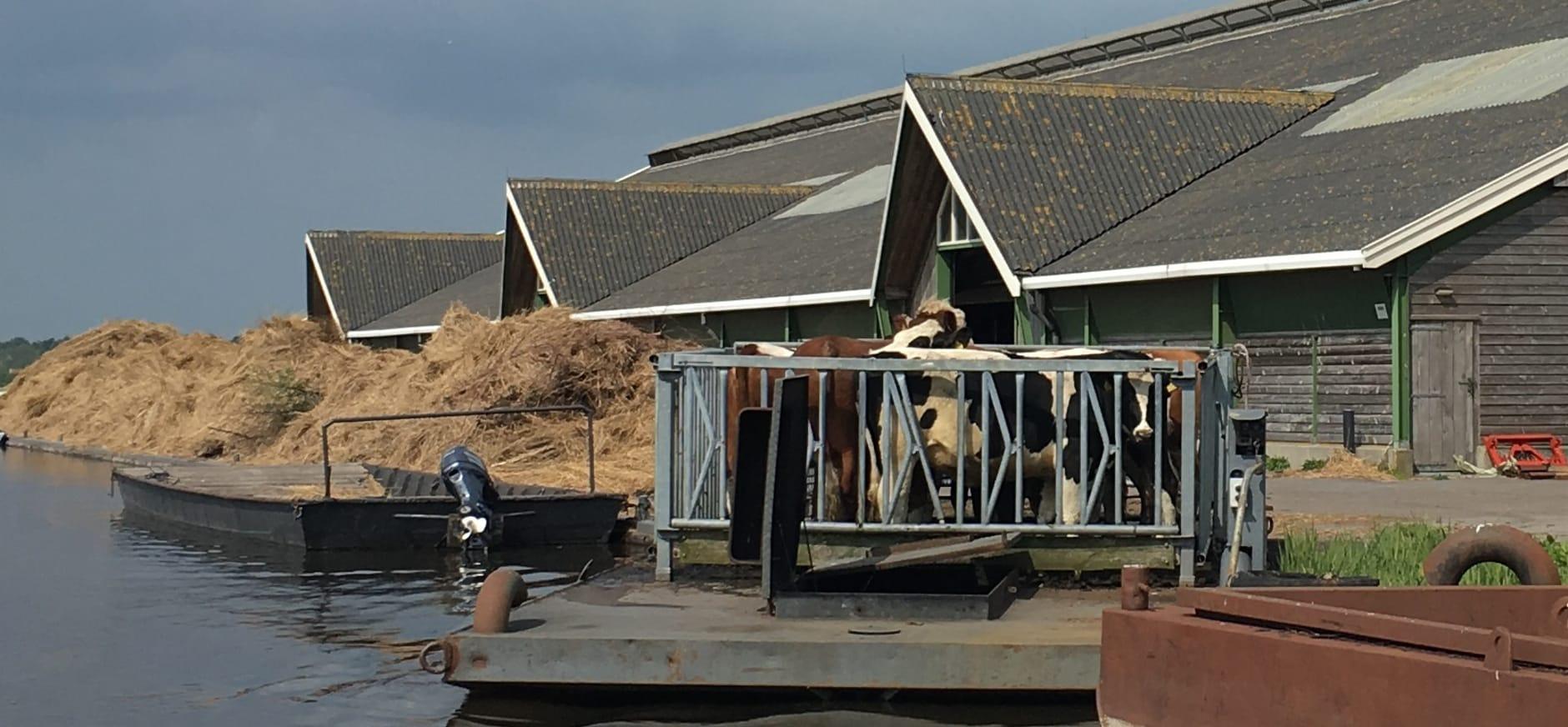 koeien op de boot naar een van de vele eilandjes