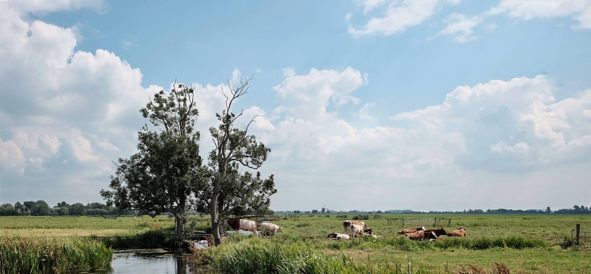 Oud Hollands landschap met koeien