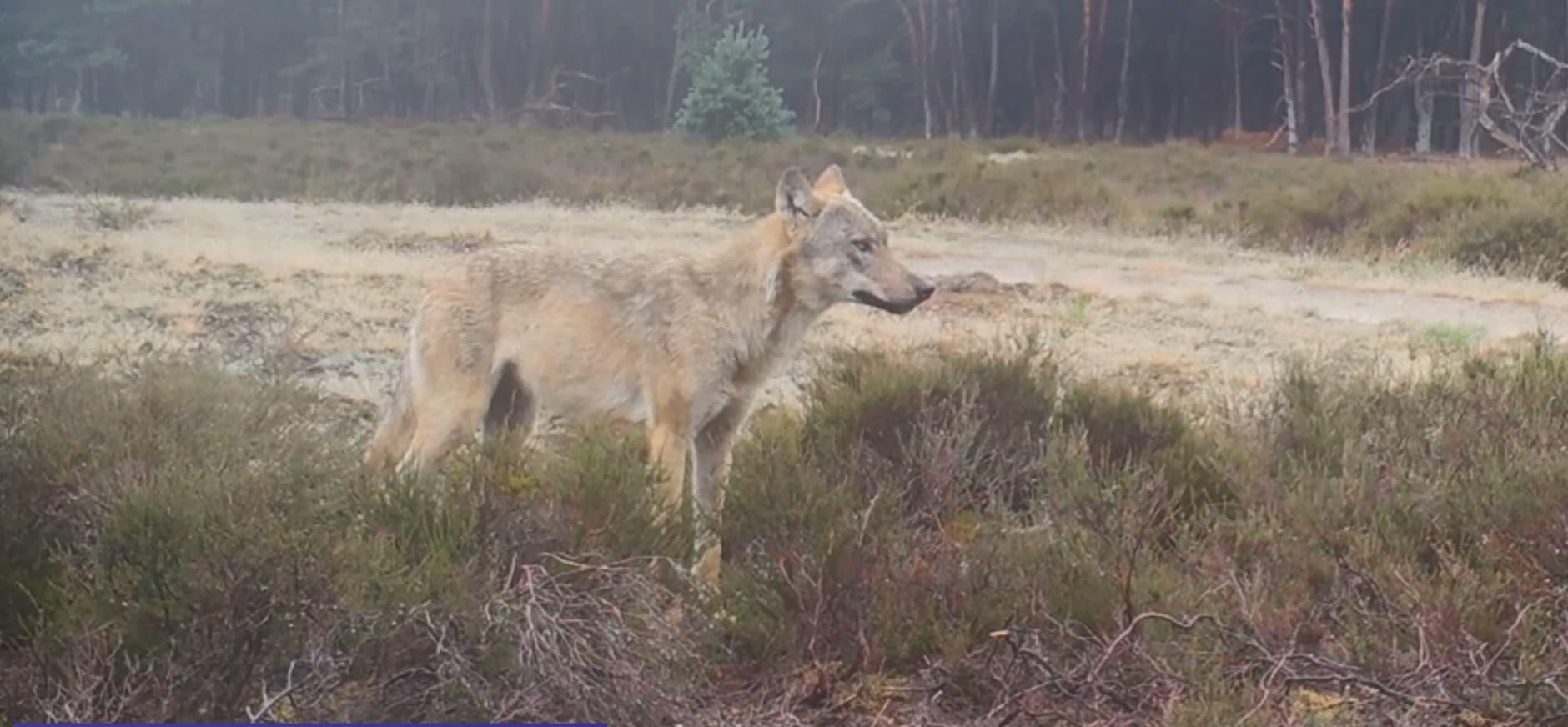 De wolf in de zomer - wolfblog