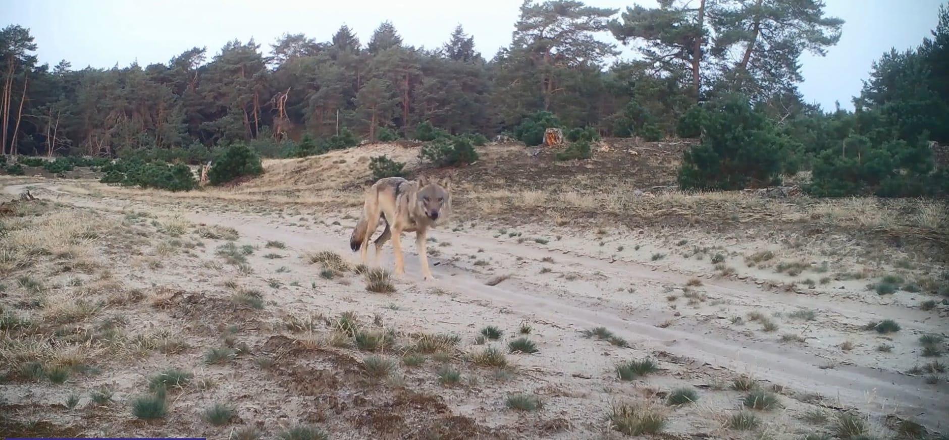 Het najaar van de wolf