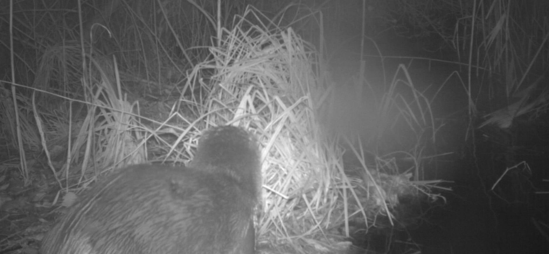 Otter in het Naardermeer